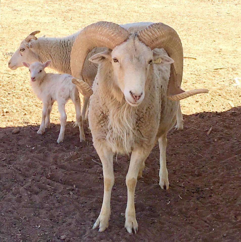 Historic New Mexico Dahl Sheep  GutierrezHubbell House
