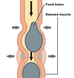 how food food bolus moves along the gut  [ 651 x 1413 Pixel ]