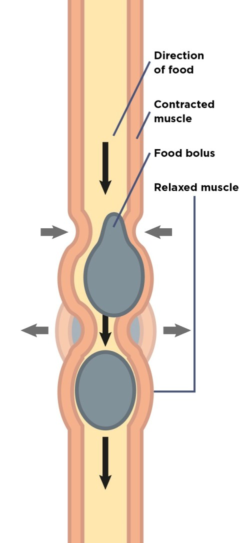 small resolution of how food food bolus moves along the gut