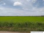 Black Bush Polder - Berbice - Rice Fields