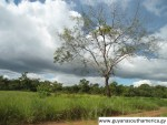 A Beautiful Tree - Kumu - Central Rupununi
