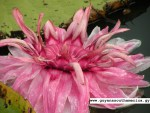 The Victoria Amazonica - Guyana's National Flower