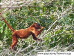 Red Howler Monkey - Yupukari Village