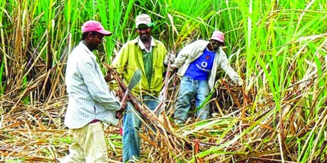 guyana-sugar-production
