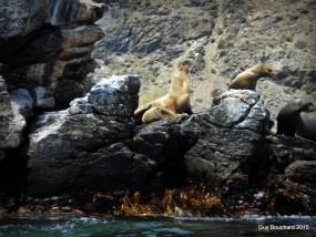 Des lions de mer dans la réserve de Pingouin de Humboldt