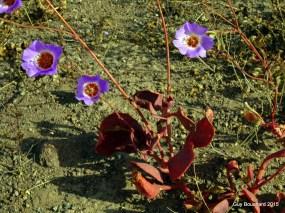 Une fleur du désert près de Vallenar