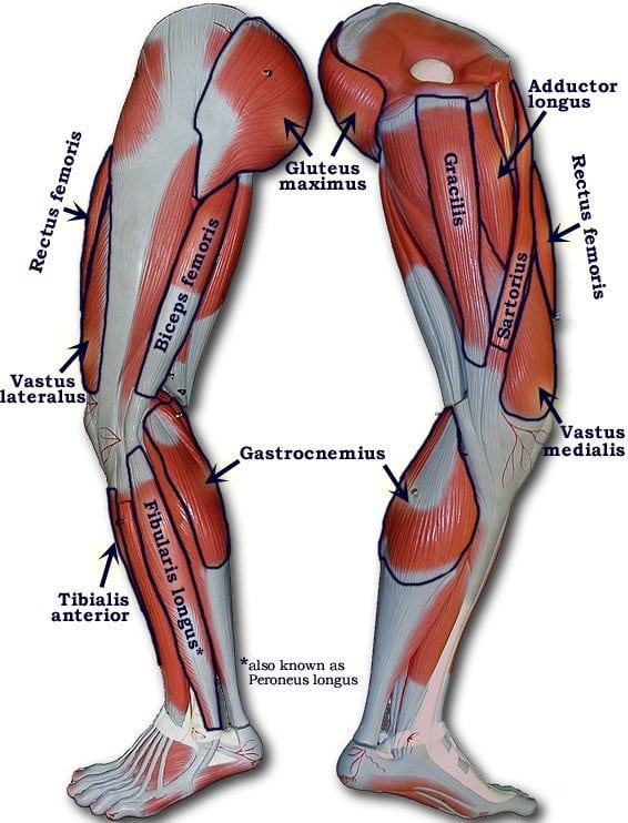 muscles of the leg for workouts