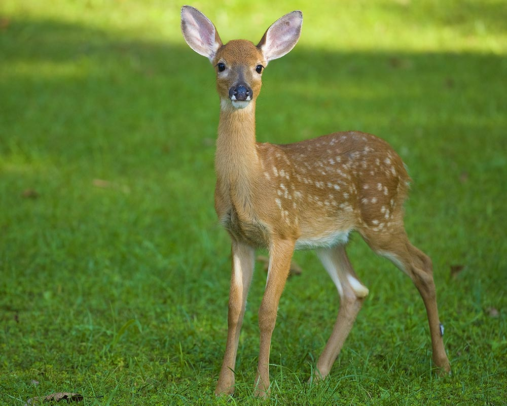 wildlife photography, deer fawn photo, strobist wildlife photography, Guy Sagi, Guy J. Sagi, Raeford North Carolina, Hoke County North Carolina