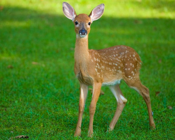 wildlife photography, deer fawn photo, strobist wildlife photography, Guy Sagi, Guy J. Sagi, Raeford North Carolina, Hoke County North Carolina