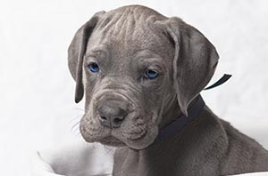 Great Dane puppy, puppy, Great Dane, Maverick Danes, Guy Sagi