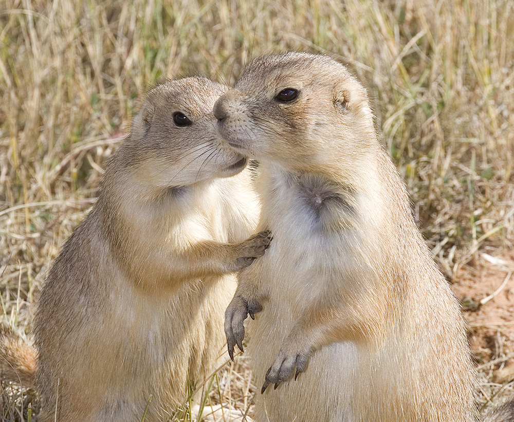 prairie dog secret, Guy Sagi