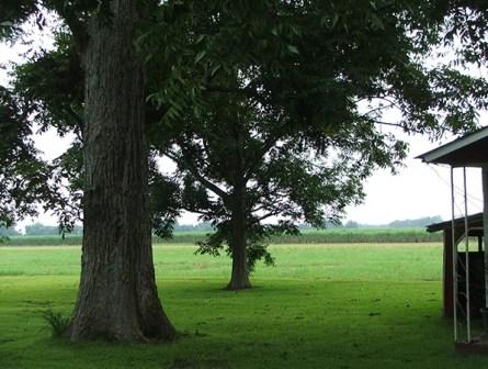 large-pecan-tree