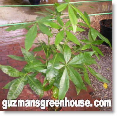 Indoor House Plant Names - Plants indoors GuzmansGreenhouse.com on names of pests, names of wildlife, names of tea bags, names of design, names of corn, names of health, names of bromeliads, names of baskets, names of biennials, names of climbers, names of art, names of perennials, names of vines, names of gifts, names of gardens, names of greenhouses, names of water, names of soil, names of plants, names of hibiscus,