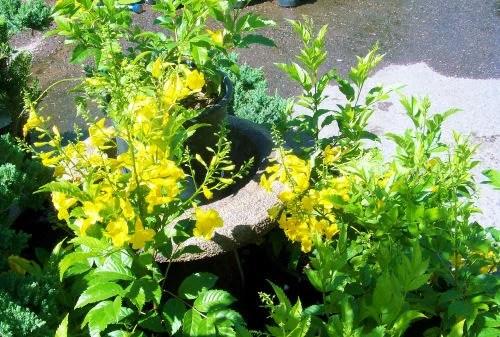 Yellow Bells Flower
