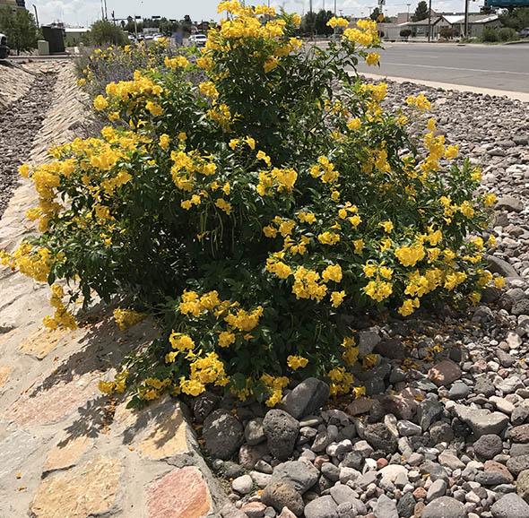Yellow Bells Plant