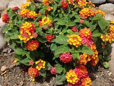 Buy Lantana Plants