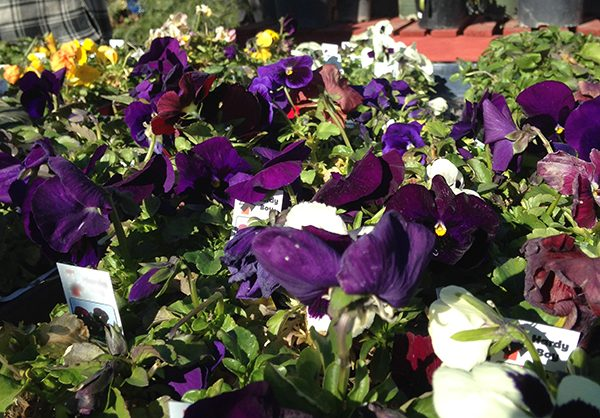 Pansies Southwest
