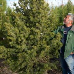 The Care of Live Christmas Trees