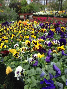 annual-pansies-colorful