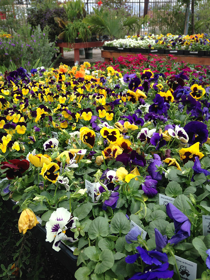 Pansies in Fall