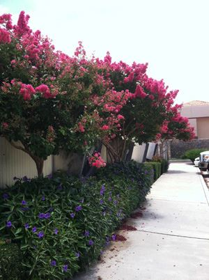 row-of-crape-myrtles