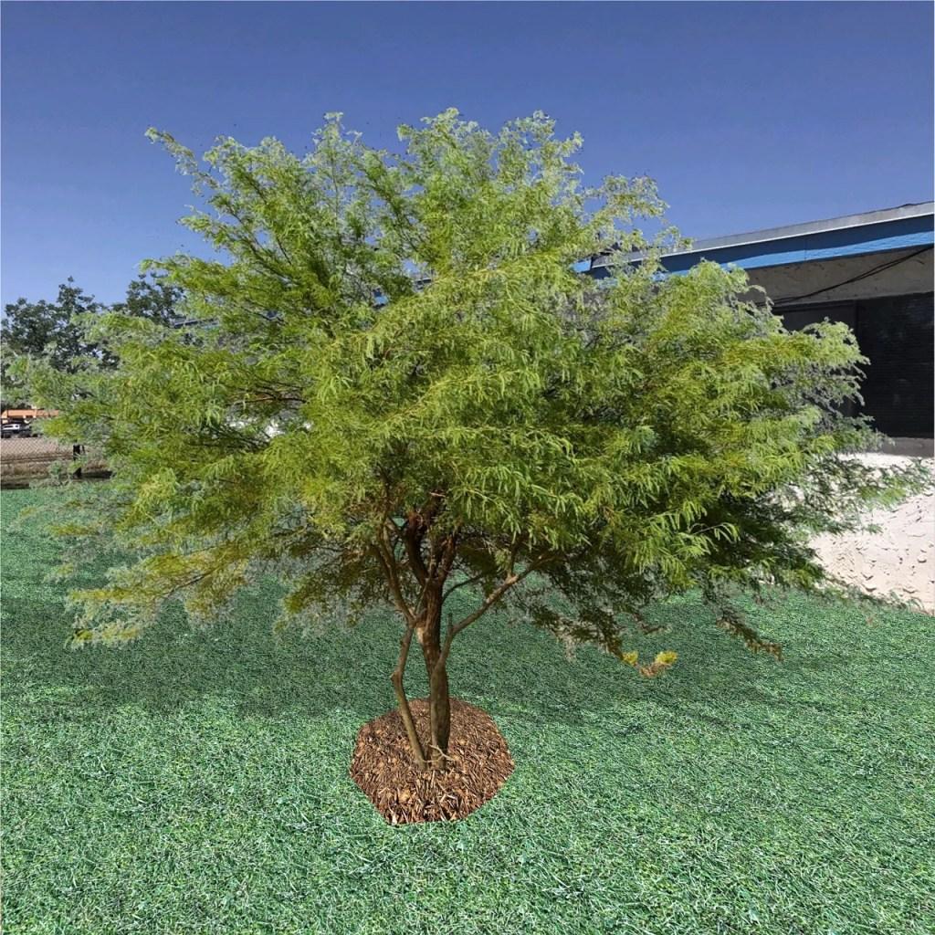The Chilean Mesquite Tree