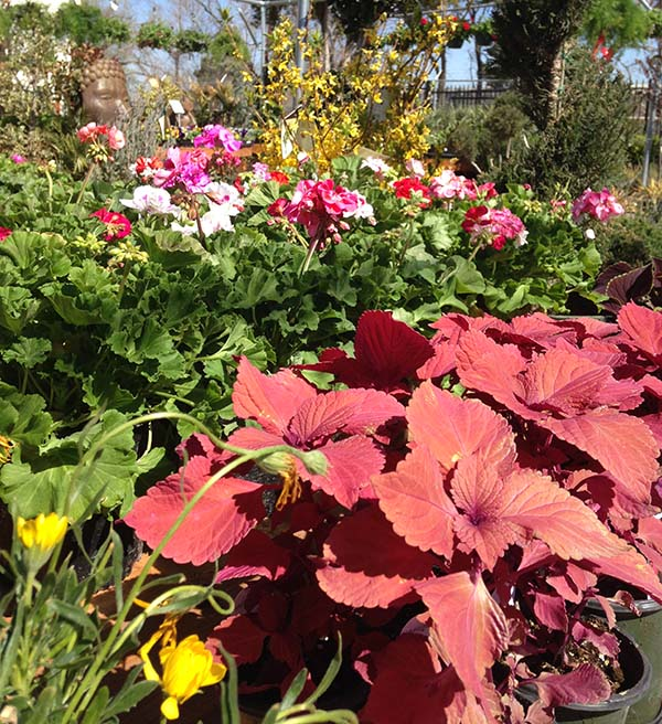 Coleus Plants In Garden