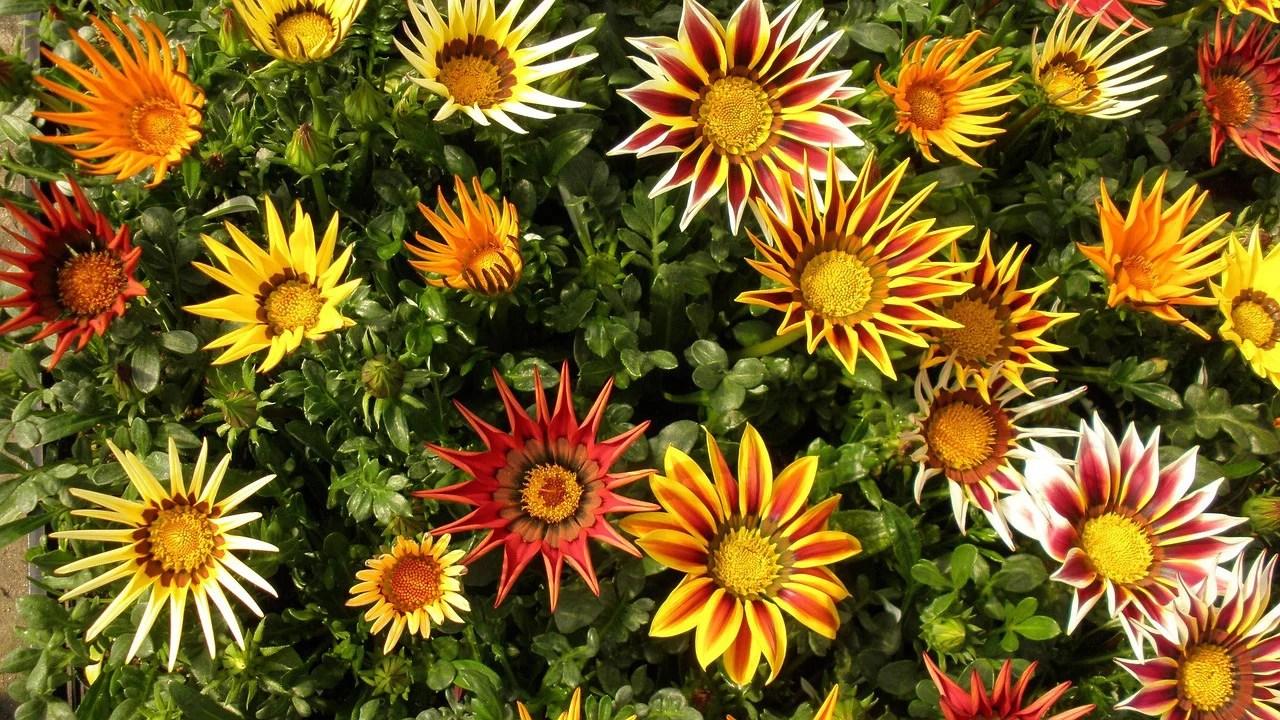 The Gazania Plant Desert Flowers Guzmansgreenhouse