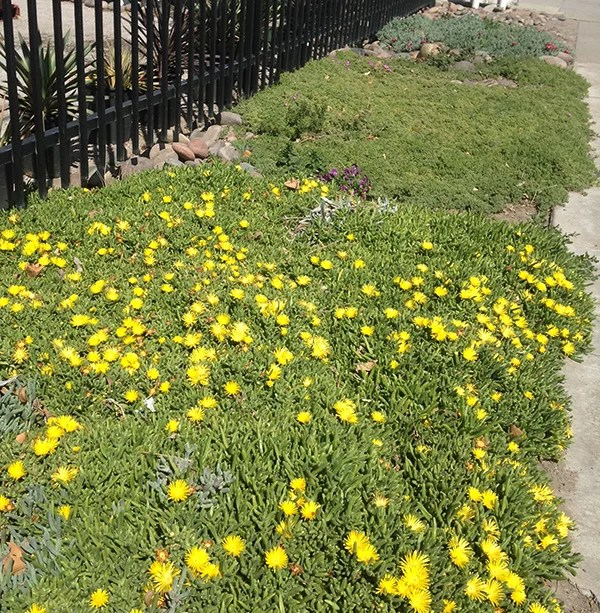 List of ground cover plants groundcovers guzmansgreenhouse yellow ice plant mightylinksfo