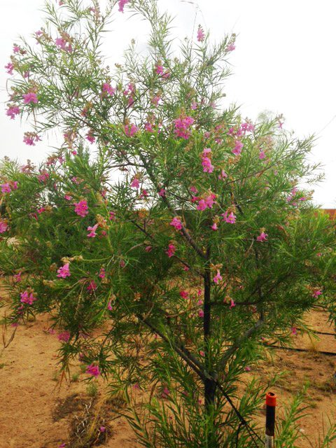 Desert Willow Tree