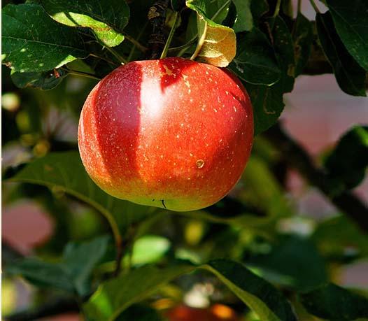 How to grow larger fruit