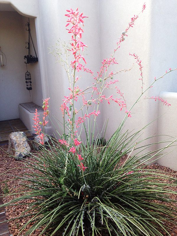 Red tip Yucca