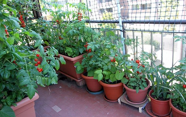 fantastic growing TOMATOES on the terrace of the apartment building in the city