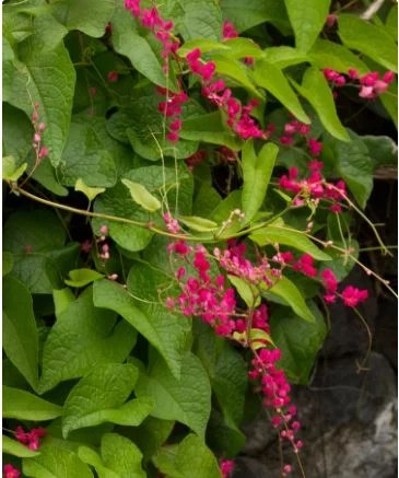 Fast growing vines for fences