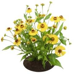 Bush Of Coreopsis Flowers