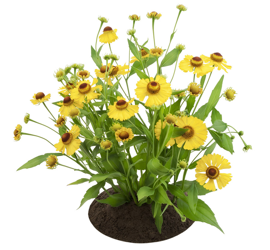 Bush Of Coreopsis Flowers