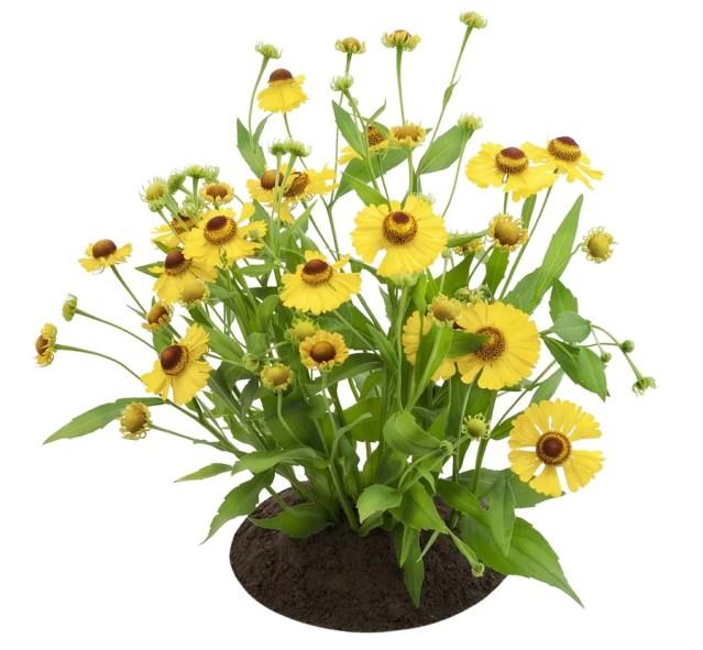 Coreopsis flowering perennial