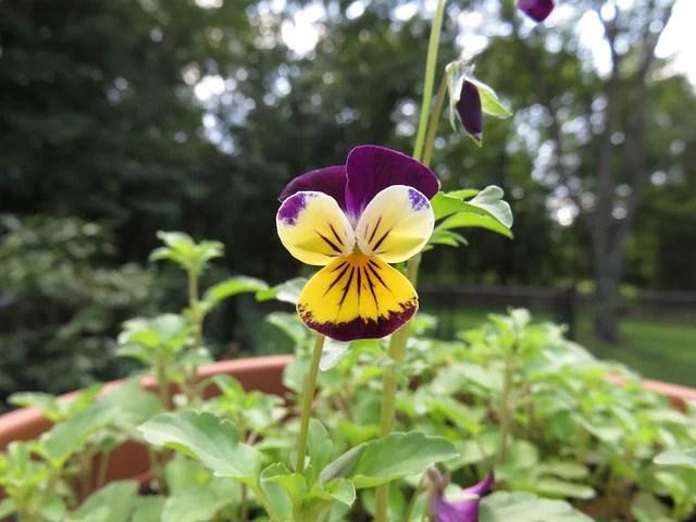 Planting Violas Annuals For Garden Beds Guzmangreenhouse Com