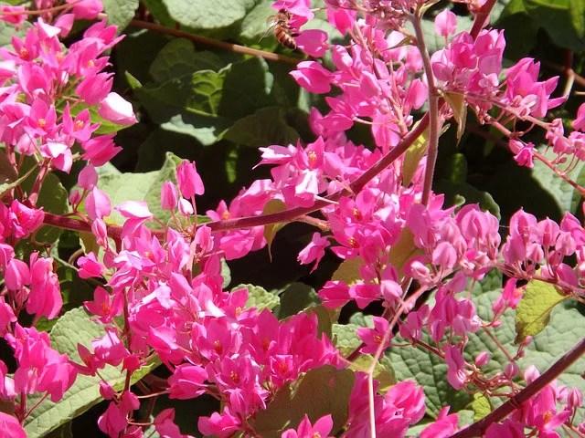 Coral vine plant bright pink flowers guzmansgreenhouse mightylinksfo