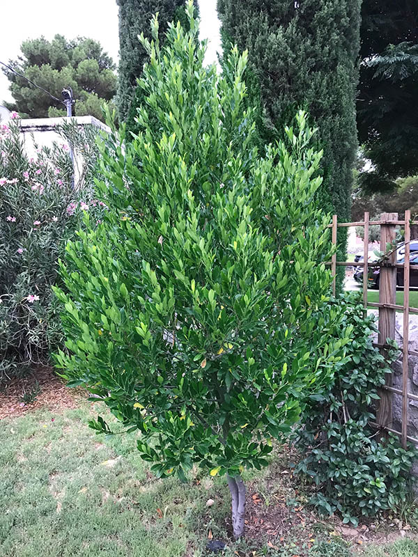 Carolina Laurel Tree
