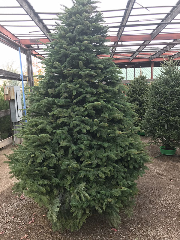 Christmas Trees in Las Cruces