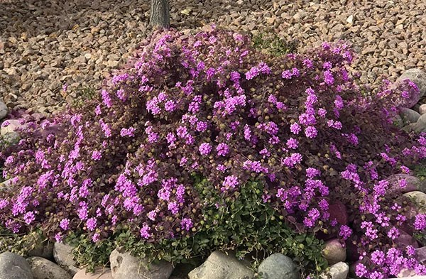 purple-verbena-plant