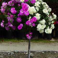 patio tree roses