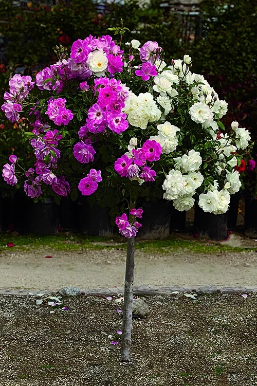 Delicieux Patio Tree Roses