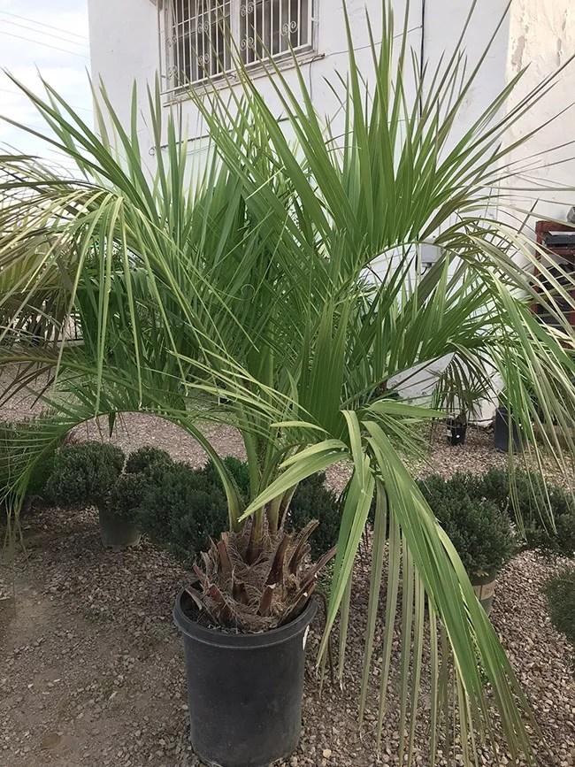 The Pindo Palm Tree Palm Tree From Guzmansgreenhouse Com