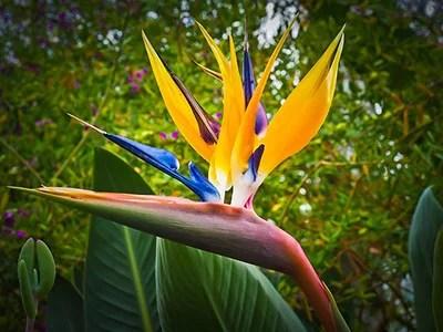 Bird of paradise plant flower