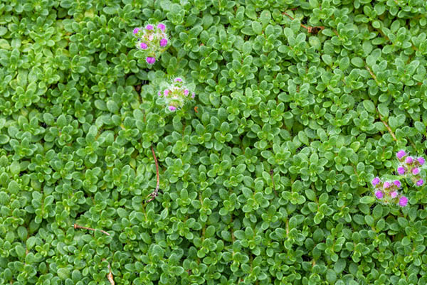 List of ground cover plants for the Southwest