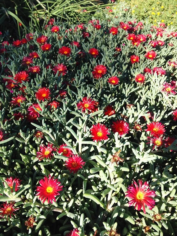ice-plant-red