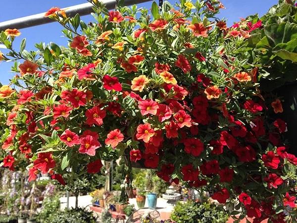 Million Bells Plants