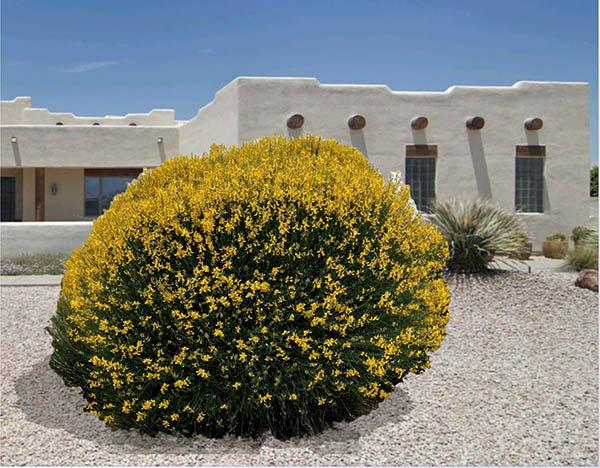 The Spanish Broom Plant